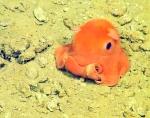 Adorabilis-flapjack-octopus